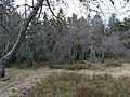 Lichens on trees at the Kleiner Feldberg mountain.jpg