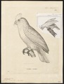 Licmetis nasicus - 1700-1880 - Print - Iconographia Zoologica - Special Collections University of Amsterdam - UBA01 IZ18600023.tif