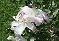 Lilie (Lilium) (9515756806).jpg
