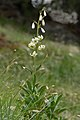 Lilium Martagon blanch sun Frea.jpg