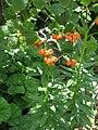 Lilium carniolicum001.jpg