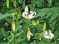 Lilium cf. ledebourei - Flickr - peganum (1).jpg