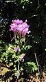 Linaria triornitophora. Flor del cuquiellu.jpg