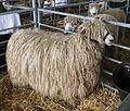 Lincoln Longwool Sheep.jpg