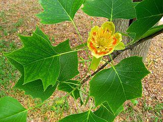 <i>Liriodendron</i> genus of deciduous trees
