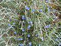 Lithodora ^ Dianthus - Flickr - peganum.jpg