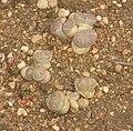 Lithops olivacea - Oxford Botanical Garden.jpg