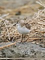 Little Stint (Calidris minuta) (48332296866).jpg