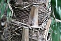 Livistona rotundifolia 4zz.jpg