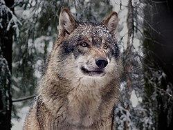 Lobo-europeo.jpg