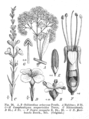 Loganiaceae spp EP-IV2-026.png