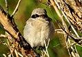 Loggerhead Shrike Seedskadee NWR 02 (14908750939).jpg