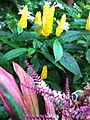 Lollypop Plant (pachystachys lutea).JPG