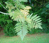 Lomatia ferruginea-hojas-haz