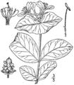 Lonicera reticulata BB-1913.png
