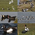 Lots of lovely waterbirds spotted in Waterland at 10 March 2016 - panoramio.jpg