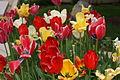 Love tulips.JPG