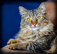 a two year old maine coon american longhair cat