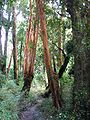 Luma apiculata-bosque.JPG