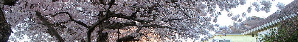 Lumpytrout Wikivoyage Page Banner Washington tree blossoms 2.JPG