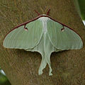 Luna Moth at Seattle Zoo.jpg