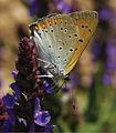 Lycaena dispar - Nature Conservation-001-073-g016.jpg