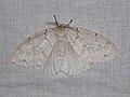 Lymantriinae sp. (41058514352).jpg