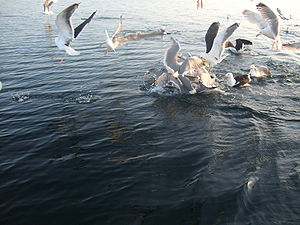 Feeding frenzy - Herring gulls and great black-backed gulls in Vestfjord, Norway eating fish remnants after fishers cleaned their catch.