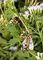 MANTIS, TEXAS UNICORN (Phyllovates chlorophaea) (10-30-2015) national butterfly center, mission, hidallgo co, tx -03 (22520228644).jpg