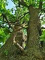 MD.DN.Dondușeni - stejar pedunculat pe traseul Dondușeni-Plop - apr 2018 - 14.jpg