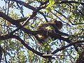 Macaque berbère à Ziama Mansouriah 11 (Algérie).jpg