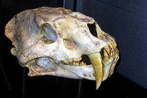 Amphimachairodus - A. giganteus skull.