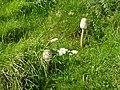 Macrolepiota procera Wales 01.jpg