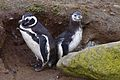 Magellanic Penguin adult and chick at their burrow (4312425231).jpg