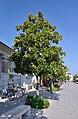 Magnolia grandiflora, Grado 03.jpg