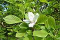 Magnolia soulangeana - City Park in Lučenec (5).jpg