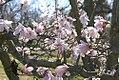 Magnolia stellata Rohrbach 1zz.jpg