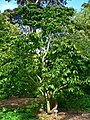 Magnolia zenii 1.jpg