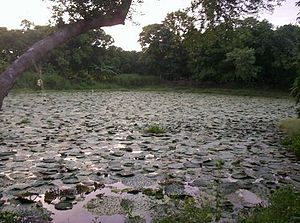 Euryale ferox - A pond of cultivated Euryale in northern India