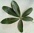 Malabar leaf.jpg