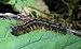 Malacosoma neustria Caterpillar.jpg