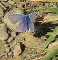 Male Common Blue butterfly - geograph.org.uk - 1518324.jpg