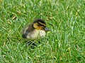 Mallard Duckling (7421791022).jpg