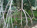Malpighiales - Rhizophora mangle - Kew 2.jpg