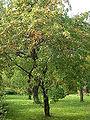 Malus florentina2.jpg