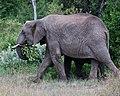 Mama elephant feeds (42849505411).jpg