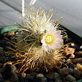 Mammillaria moelleriana 3893.JPG
