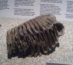 Swanscombe Heritage Park - Mammoth tooth excavated from the site