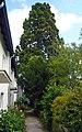 Mammutbaum Hochmais.jpg
