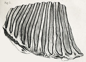 Columbian mammoth - 1863 lithograph of the partial holotype molar (specimen BMNH 40769)
